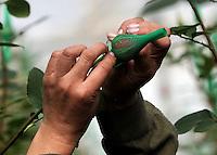 COLOMBIA- 29-01-2013 Llega febrero y los floricultores colombianos tienen la gran oportunidad de iniciar el año con el pie derecho gracias al día de San Valentín que es por excelencia el día de los enamorados en Estados Unidos y Europa. Por estos días las plantaciones de flores en la  Sabana de Bogotá trabajan a todo marcha para surtir el mercado, para este a-o en el cual esperan incrementar sus ventas en 12% respecto al a-o anterior. (Foto: VizzorImage / Luis Ramírez / Staff). February is coming and colombian growers have a big opportunity to start this year so well thanks to the quintessential Valentine's Day in USA and Europe. For these days the Sabana of Bogota flowers plantations are working full time to fill the market for this year and increase their sales by 12% compared to 2012. /Photos VizzorImage  / Luis Ramírez / Staff).