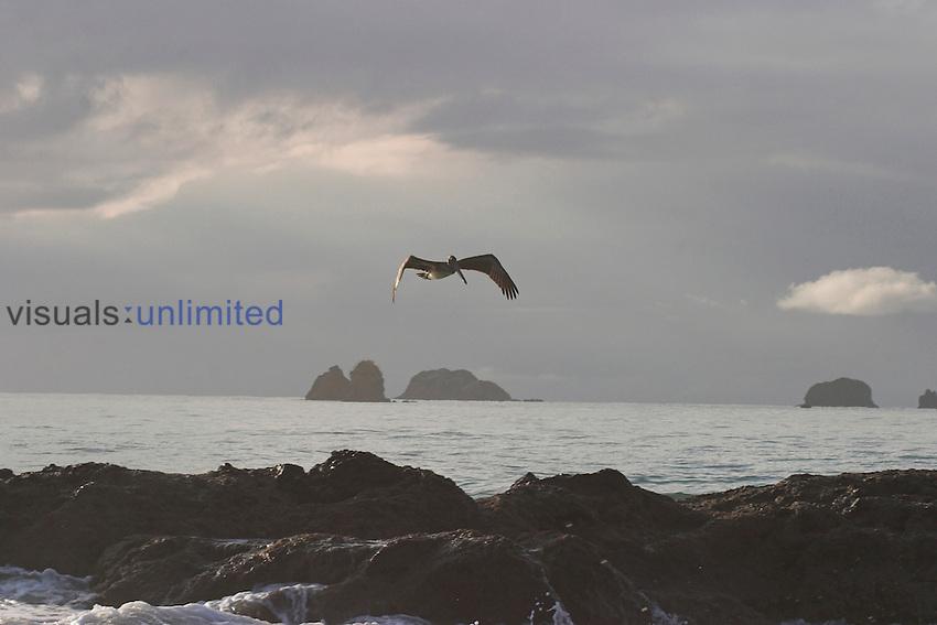 Brown Pelican in flight, Costa Rica