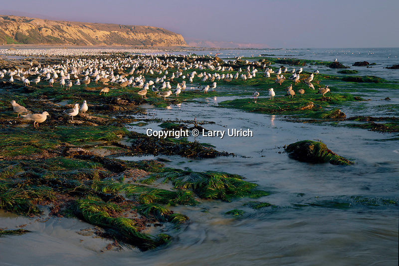 Western and ringed-billed gulls<br />
