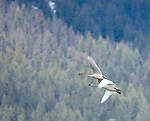 Two tundra swans during migration in flight over Kootenai Wildlife Refuge