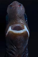 pygmy shark, Euprotomicrus bispinatus, showing the upper gripping teeth and the lower cutting teeth, Kona, Big Island, Hawaii, USA, Pacific Ocean
