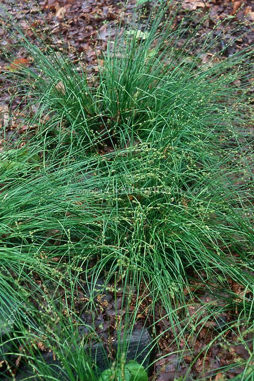 Carex pennsylvanica ssp. rosea (Pennsylvania Sedge) ornamental grass, Carex pensylvanica (Pennsylvania sedge)