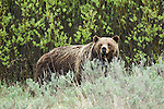 Portrait of Grizzly No. 399 in Grand Teton National Park, WY