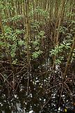 PHILIPPINES, Palawan, Puerto Princesa, mangroves near the Badjao Seafood Restaurant