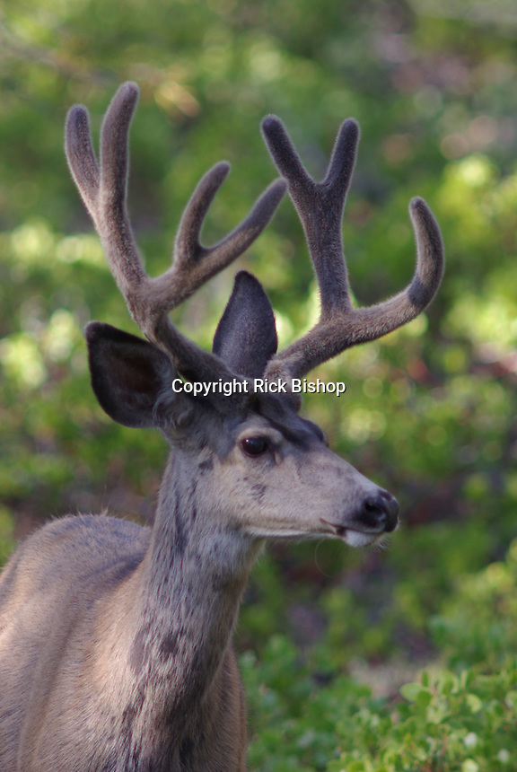 Mule Deer Buck (Obocoileus hemionus) in velvet seen on a summer day in Bryce Canyon National Park, southern Utah.