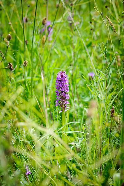Dactylorhiza praetermissa (Southern Marsh-orchid) in the Wild Gardern
