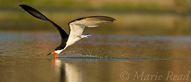 Black Skimmer (Rynchops niger) skimming, Orange County, California, USA<br /> Cropped to panorama format.