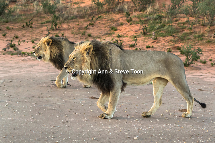 Lion (Panthera leo) males, Kgalagadi transfrontier park, Northern Cape, South Africa, January 2017