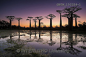 Tom Mackie, LANDSCAPES, LANDSCHAFTEN, PAISAJES, photos,+Africa, Madagascar, Tom Mackie, UNESCO World Heritage Site, Worldwide, african, atmosphere, atmospheric, baobab tree, big, du+sk, environment, exotic, flora, forest, gigantic, green, group, high, horizontal, horizontals, huge, landscape, large, massiv+e, mood, moody, morondava, nature, old, orange, outdoor, plant, purple, reflection, reflections, road, scenery, scenic, silho+uette, sky, sun, sunset, tall, time of day, tourism, tranquil, travel, tree, trees, tropica,Africa, Madagascar, Tom Mackie, U+,GBTM150204-1,#L#
