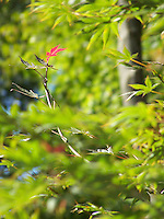 Japanese Maple, Piermont, Early Fall, 2011