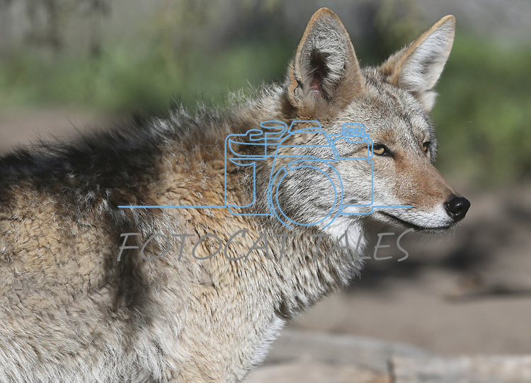 A coyote, new on display at Animal Ark, north of Reno, Nev., on Monday, May 1, 2017. <br /> Photo by Cathleen Allison/Nevada Photo Source