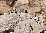 Lesser earless lizard, Holbrookia maculata, shedding its skin. Tucson Mountain District of Saguaro National Park, Arizona
