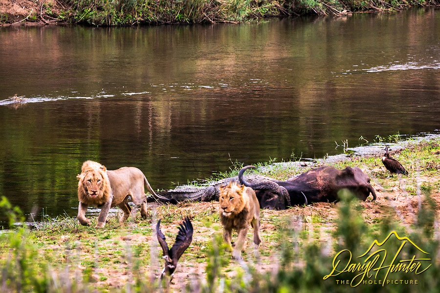 A couple of lions forfeiting a tasty cape buffalo to some rather insistent crocodiles.