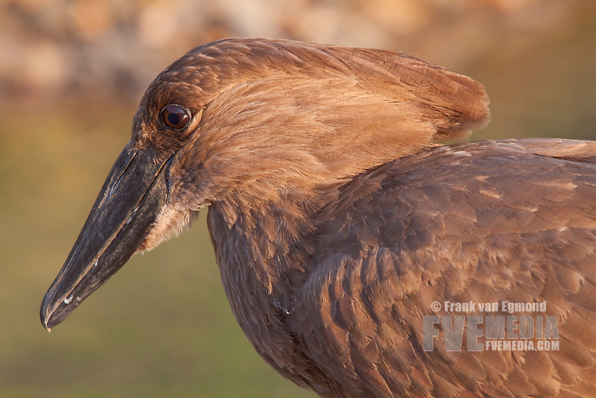 Hamerkop (Scopus Umbretta)..Closeup, portait, face detail..Winter, May 2009..Hluhluwe-Imfolozi Game Reserve, Kwazulu Natal, South Africa.