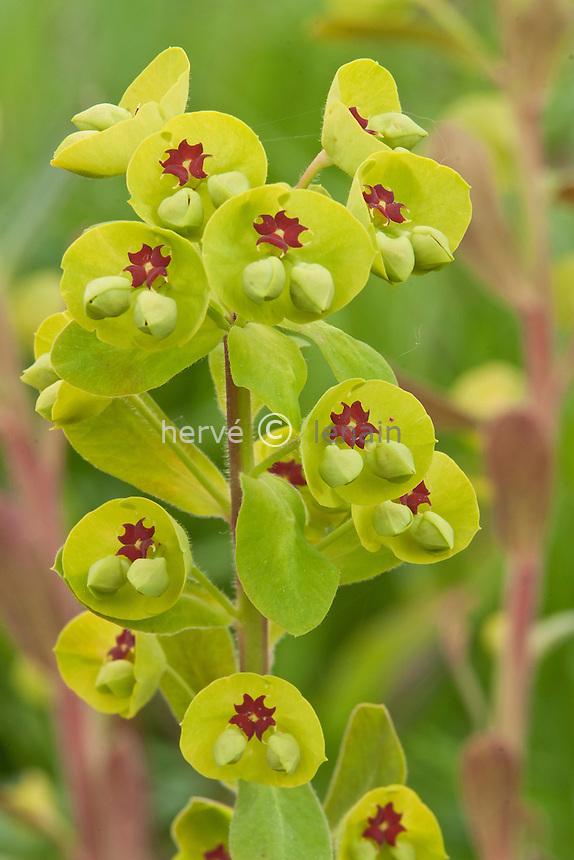 euphorbe X martinii (Euporbia X martinii) : inflorescence. // Euporbia X martinii