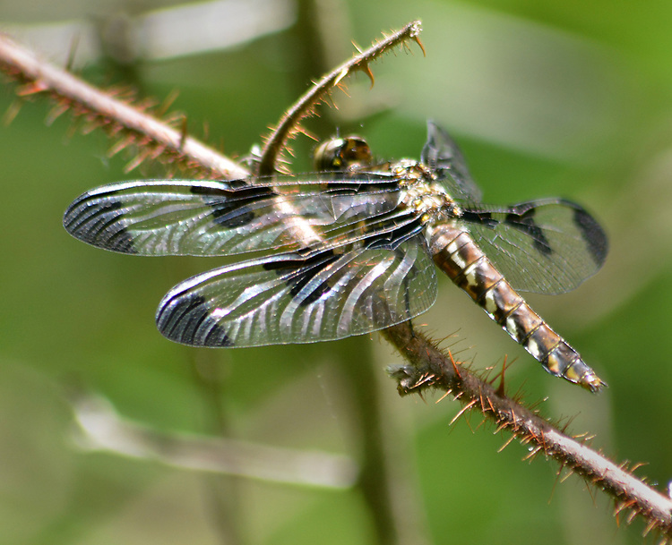 Dragonfly seen in the Esopus Bends Nature Preserve on Wednesday, May 31, 2017. Photo by Jim Peppler. Copyright/Jim Peppler-2017.