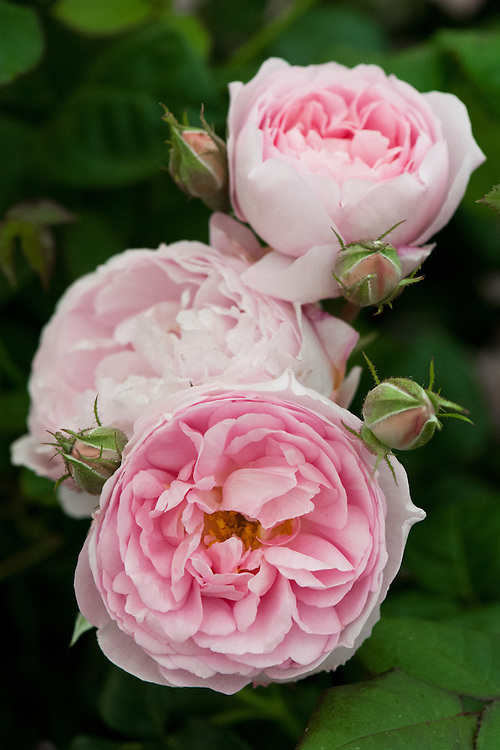 Rosa Scepter'd Isle ('Ausland'), early June. A myrrh-scented shrub rose with cupped, soft pink flowers, from David Austin, 1996.