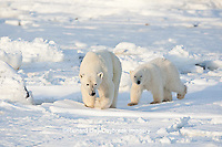 01874-12218 Polar Bear (Ursus maritimus) mother and cub near Hudson Bay  in Churchill Wildlife Management Area, Churchill, MB Canada