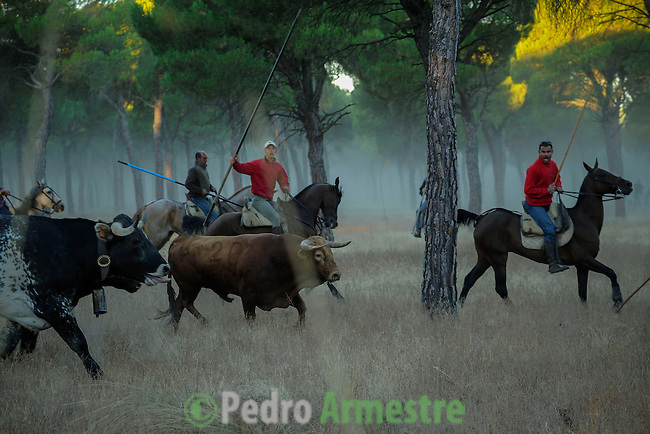 Horsemen run with bulls during the running of the bulls in Tordesillas, on September 17, 2013. The festival is one of the oldest in Spain with roots dating back to the fifteenth century. The bull has to be enticed across the river from the village to the plain 'Vega' before it can be killed to honour the 'Virgen de la Pena'. © Pedro ARMESTRE.