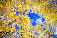 A cobalt blue sky shimmers through the aspen of the grove at Convict Lake