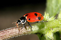 Adonis Ladybird - Adonia variegata