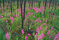 Fireweed grows following a recent forest fire, Arctic circle, Alaska