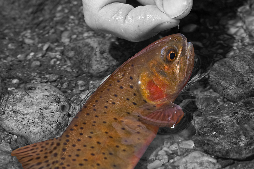 Greenback Cutthroat in a combonation of Black/White and Color