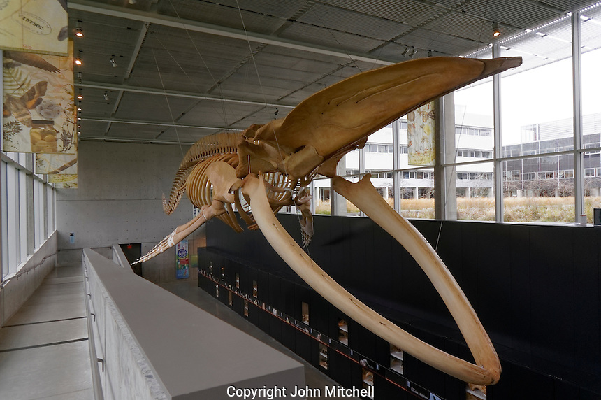 Complete blue whale skeleton, Beaty Biodiversity Museum at the University of British Columbia,  Vancouver, BC, Canada