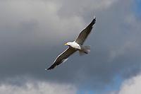 Mantelmöwe, im Flug, Flugbild, fliegend, Mantel-Möwe, Möwe, Mantelmöve, Larus marinus, great black-backed gull