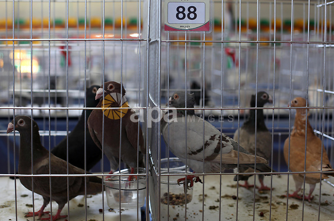 Palestinians display pigeons during an exhibition birds in Gaza City, on April 7, 2016. Photo by Mohammed Asad