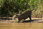 A jaguar steps into the river in the Pantanal, Mato Grosso, Brazil.