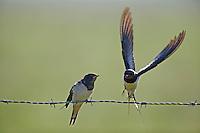 Rauchschwalbe, flügger Jungvogel wird gefüttert, Rauch-Schwalbe, Schwalbe, Hirundo rustica, barn swallow, barn-swallow