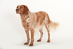 Brittany Dog, Standing, Studio, White Background