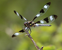 Twelve Spotted Dragonfly (Libellula pulchella)