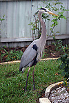 My in laws have a great blue heron, Slim, that comes to their house each morning for breakfast.  Slim is looking in the window to see where breakfast is.