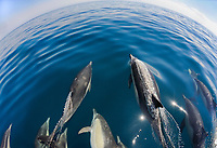 short-beaked common dolphin, Delphinus delphis, bow-riding, playing at the bow of a boat, Santa Barbara Channel, California, USA, Pacific Ocean