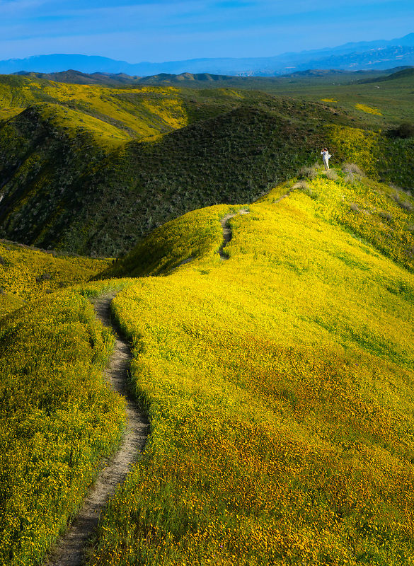 Field of Hillside Daisies (Monolopia lanceolata)   and lady taking iphone photographand wildfower covered hills. Carrizo Plain National Monument, California