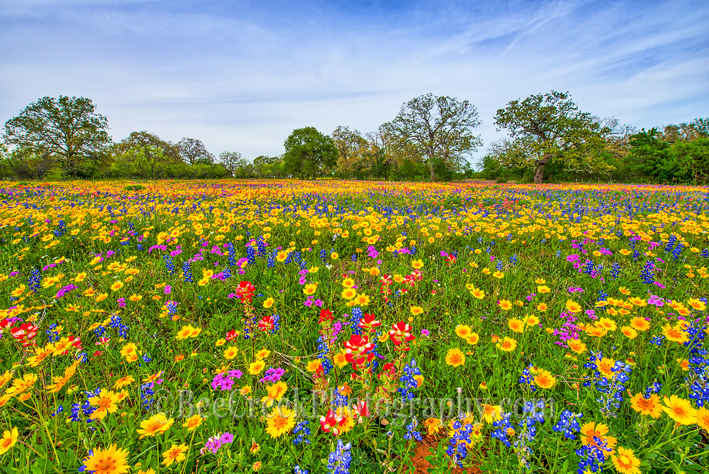 These were the most colorful Texas Wildflowers I think I have seen in some time. The fields of wildflowers were full of bluebonnets, phlox, coreopsis, indian paintbrush along with many other flowers.