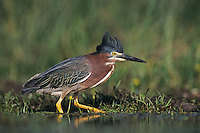 Green Heron, Butorides virescens,adult walking crest raised, Lake Corpus Christi, Texas, USA