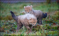 BNPS.co.uk (01202 558833)<br /> Pic: CalebHall/Longleat/BNPS<br /> <br /> Winston and Poppy explore their outdoor paddock for the first time.<br /> <br /> A rare pair of cheetah cubs have ventured outside for the first time at Longleat Safari Park.<br />  <br /> Thirteen-week-old cubs Poppy and Winston, who were named by the public, are the first to have been born at the Wiltshire wildlife attraction, which celebrates its 50th anniversary this year.<br />  <br /> The pair, both still sporting Mohican-style juvenile fur, were allowed outside to explore their paddock under the watchful eye of mum Wilma.