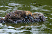Sea Otter (Enhydra lutris) mother and pup resting.