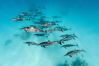RZ0966-D. Spinner Dolphins (Stenella longirostris), wide ranging tropical species, feeds primarily at night in open water on squid and fish, spends afternoon socializing and resting in shallow, protected waters near a coral reef. Egypt, Red Sea.<br /> Photo Copyright &copy; Brandon Cole. All rights reserved worldwide.  www.brandoncole.com