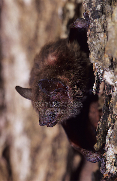 Evening Bat, Nycticeius humeralis, adult climbing on tree bark, The Inn at Chachalaca Bend, Cameron County, Rio Grande Valley, Texas, USA, May 2004