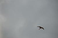 Falcon Tinnunculus,Tårnfalk Falco Tinnunculus,Norway