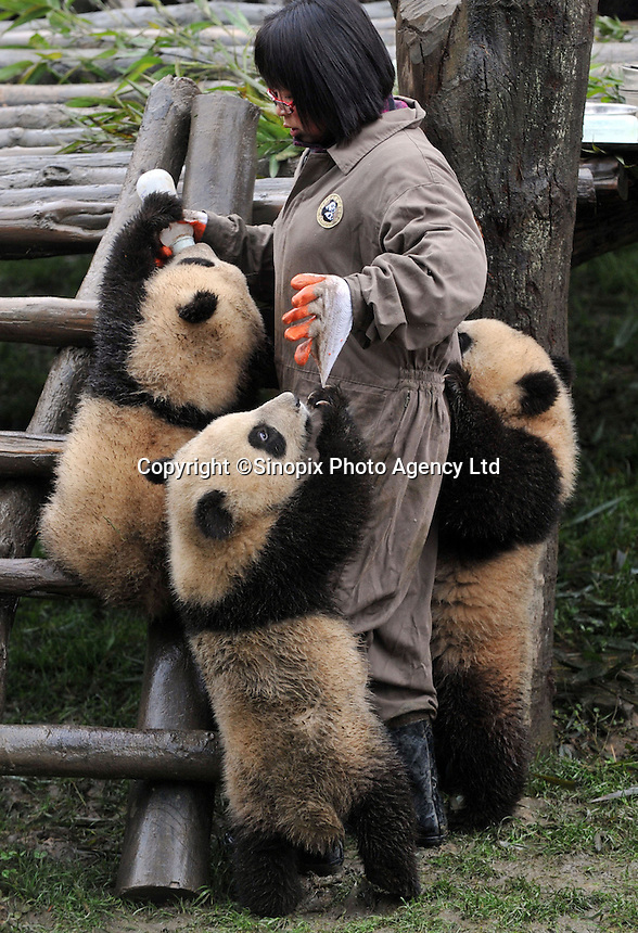Pandas born from mothers evacuated from Wolong Panda base in Sichuan after last year's devastating earthquake, wait for food in the panda kindergarden at Bi Fengxia Panda Research Base in the mountains of Sichuan, China. Thirteen pandas in total were born from evacuated mothers were evacuated to the area which is famous for its rainfall and bad weather..