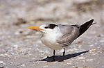Royal Tern, Sanibel, FL