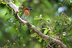 Broad Billed Motmot, Electron platyhynchum minor, Panama, Central America, Pipeline Road, Parque Nacional Soberania, perched in tree