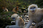 Golden snub-nosed monkey (Rhinopitecus roxellana ssp. qinlingensis), infant (foreground) and family group foraging along a small creek in a gullly. Zhouzhi Nature Reserve, Qinling Mountains, Shaanxi, China.