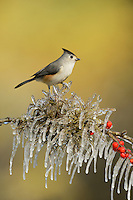 Black-crested Titmouse (Baeolophus bicolor), adult perched on icy branch of Possum Haw Holly (Ilex decidua) with berries, Hill Country, Texas, USA