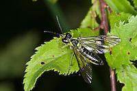 Blattwespe, Echte Blattwespe, Grünschwarze Blattwespe, Tenthredo mesomela, Eurogaster mesomela, Sawfly, Saw-fly